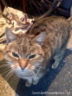 Cat found - Galway