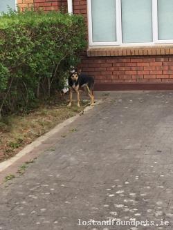Dog found - Dublin