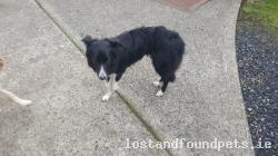 Dog found - Meath