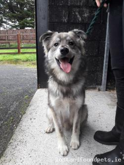 Dog found - Kildare