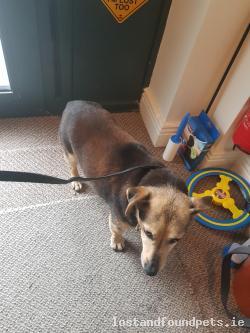 Dog found - Limerick