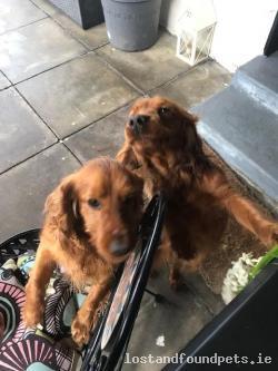 Dog found - Carlow