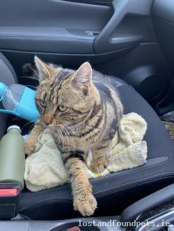 Cat found - Limerick