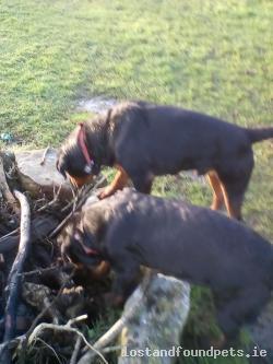 Dog lost - Laois