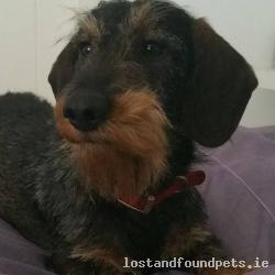 Dog lost - Donegal