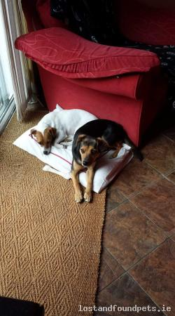 Dog lost - Carlow