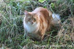 Cat lost - Limerick