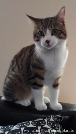 Cat lost - Kildare