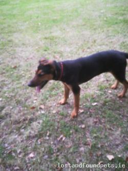 Dog lost - Offaly