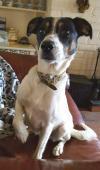 Dog lost - Westmeath