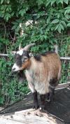 Goat lost - Mayo