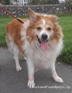 Dog found - Galway