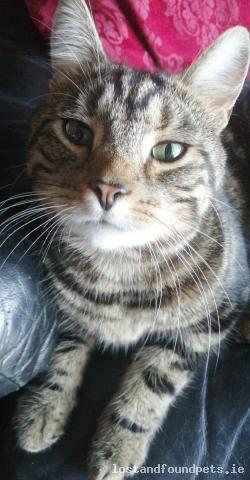 Cat lost - Donegal